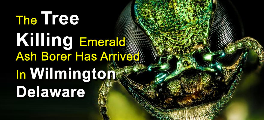 The Emerald Ash Borer Has Been Seen In Wilmington Delaware